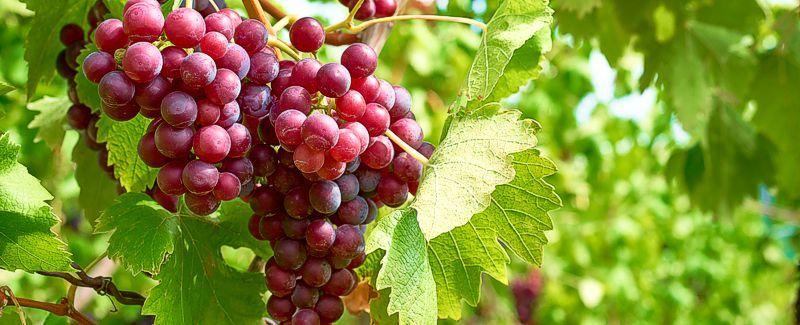 Wine Presses