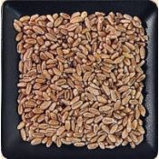 Buy bulk organic red wheat